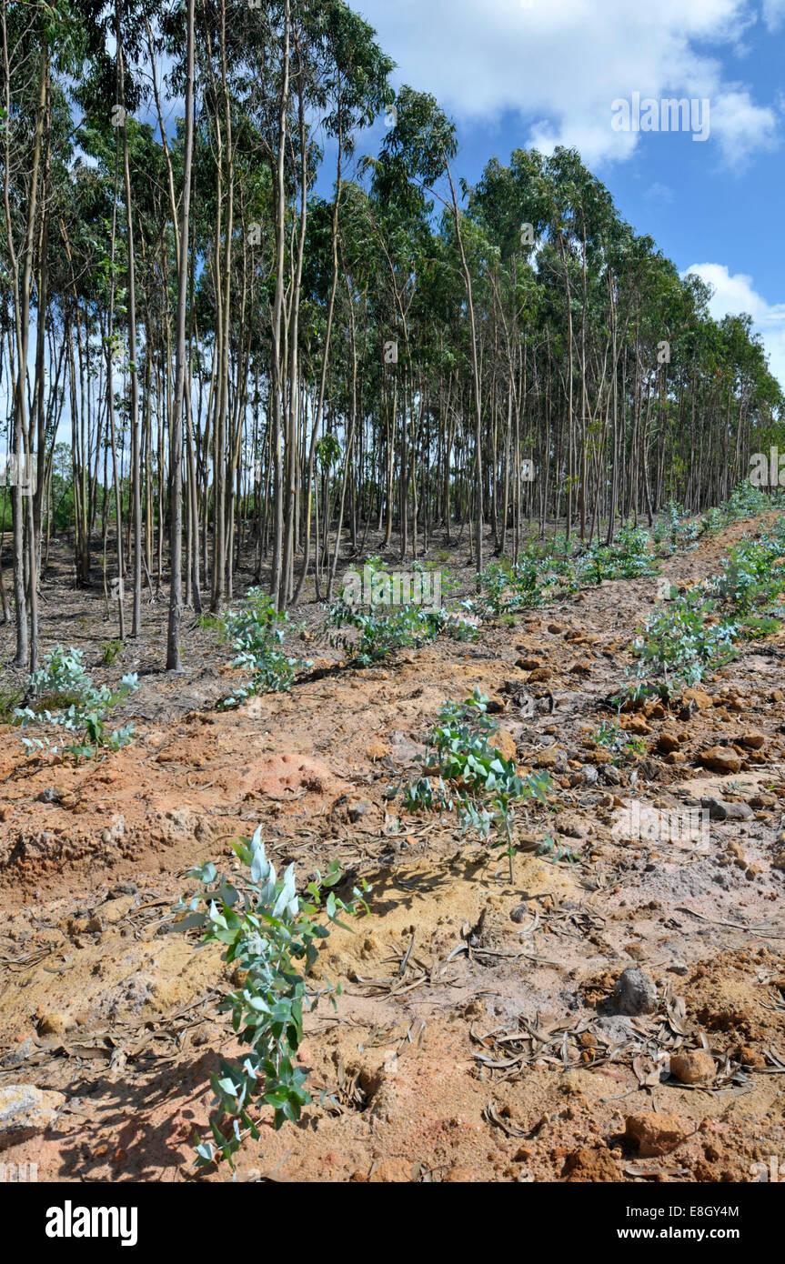 Eucalyptus (Blue Gum: Eucalyptus globulus) plantation, Portugal. - Stock Image