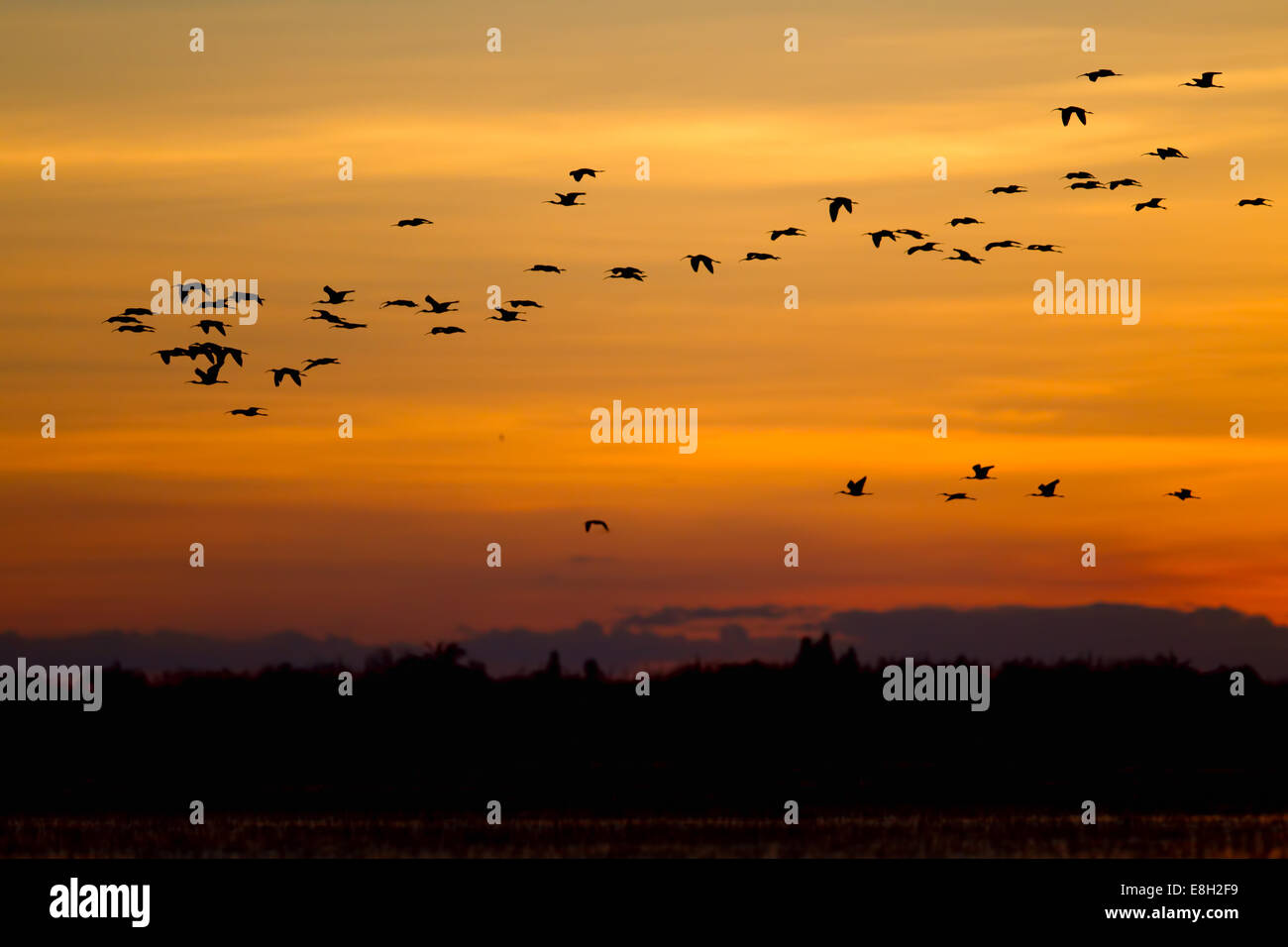 a flock of birds flies over bangweulu wetlands at sunset - Stock Image