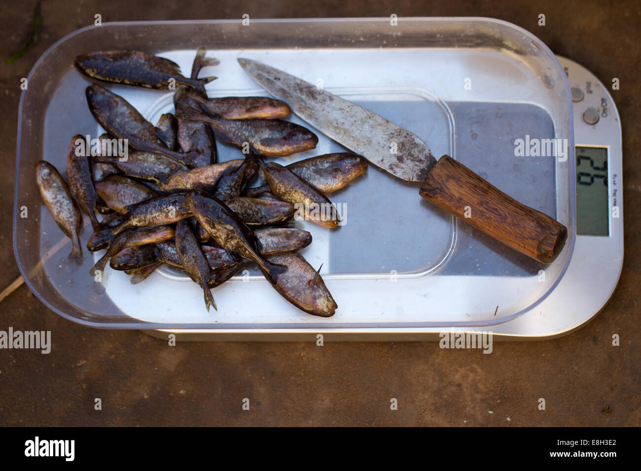 fish are weighed as part of a scientific assessment of sustainable fishing in Bangweulu Zambia. - Stock Image