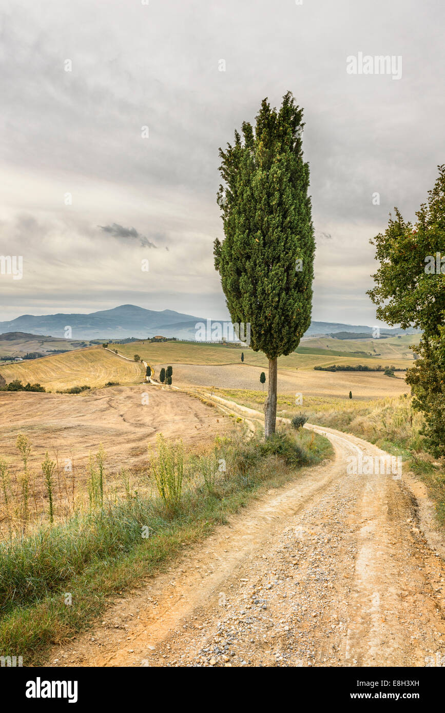 Cyprus tree in the Val D'Orcia - Stock Image