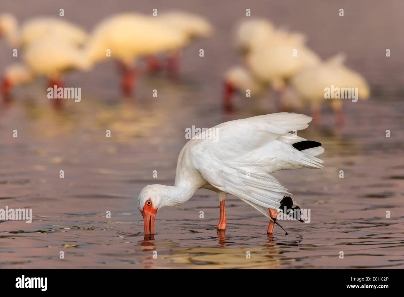 White Ibis by moonlight - Stock Image