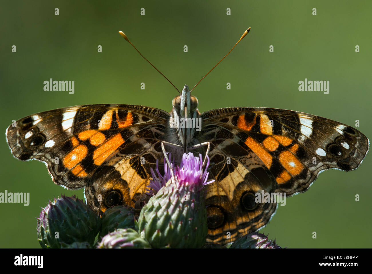 American Lady feeding on nectar. - Stock Image