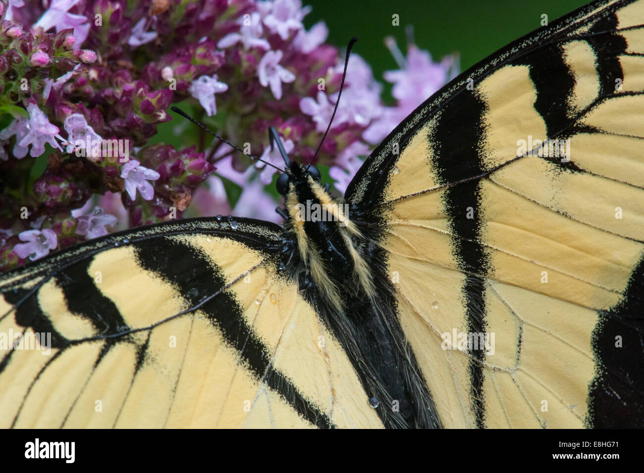 Eastern Tiger Swallowtail feeding on nectar. - Stock Image