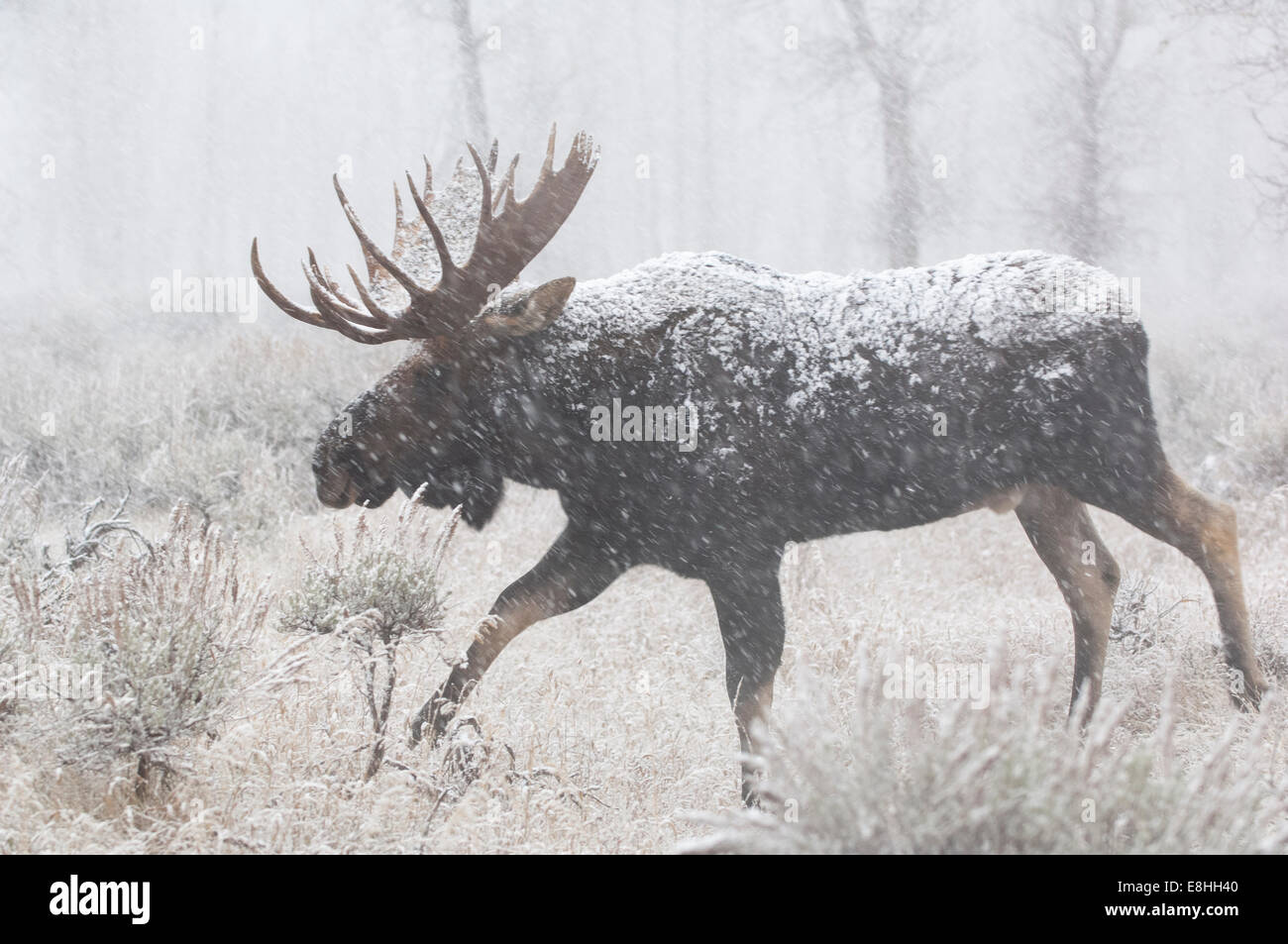 Mature bull moose in a snowstorm - Stock Image