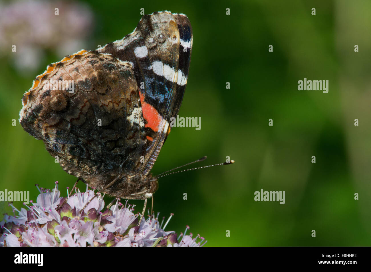 Red Admiral feeding on nectar. - Stock Image