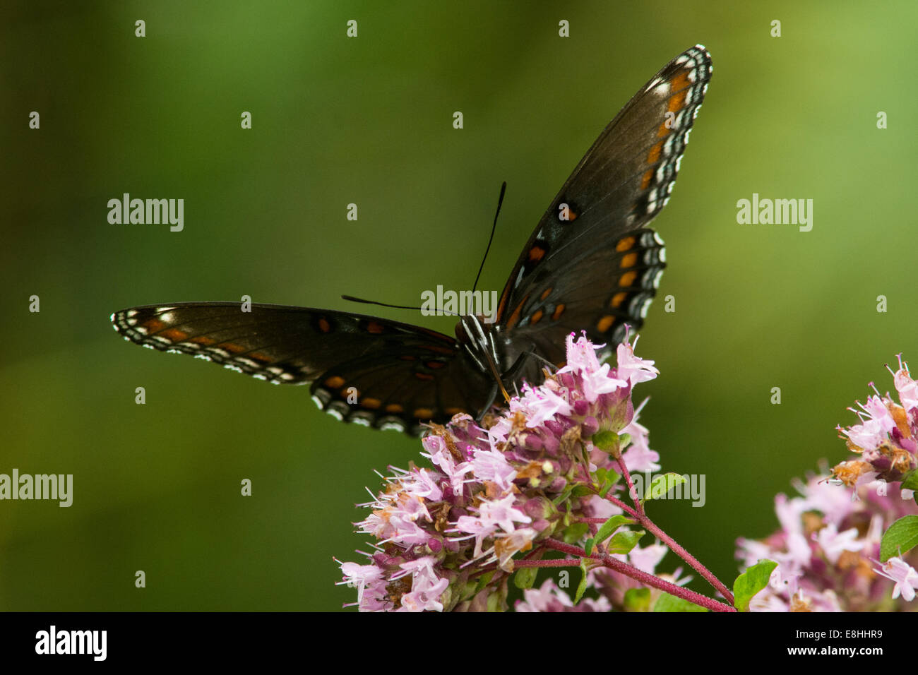 Red-spotted Purple feeding on nectar. - Stock Image