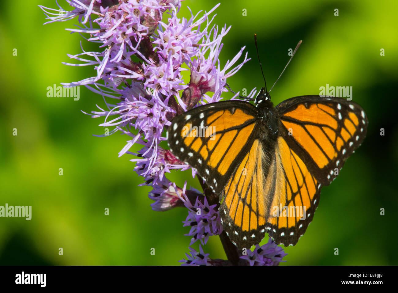 Viceroy feeding on nectar. - Stock Image
