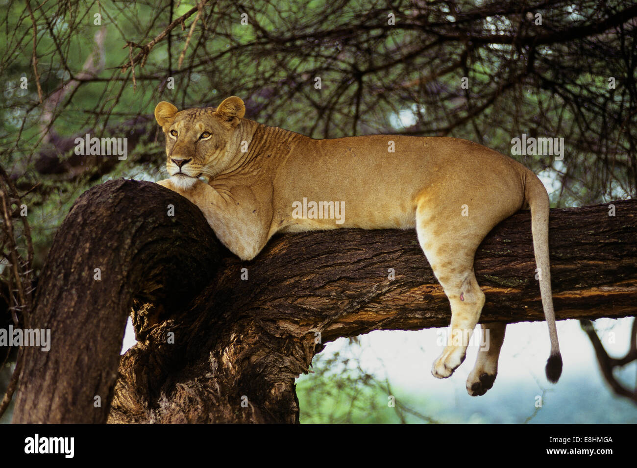 African lion resting in big tree - Stock Image