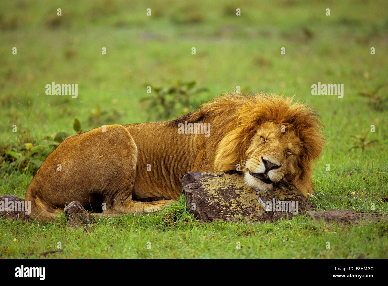 Male lion sleeping on rock - Stock Image