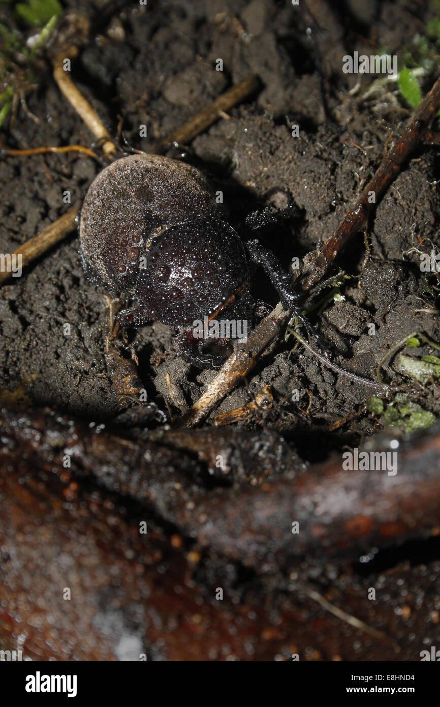 female Rhino beetle on dirt Chalcosoma moellenkampi - Stock Image