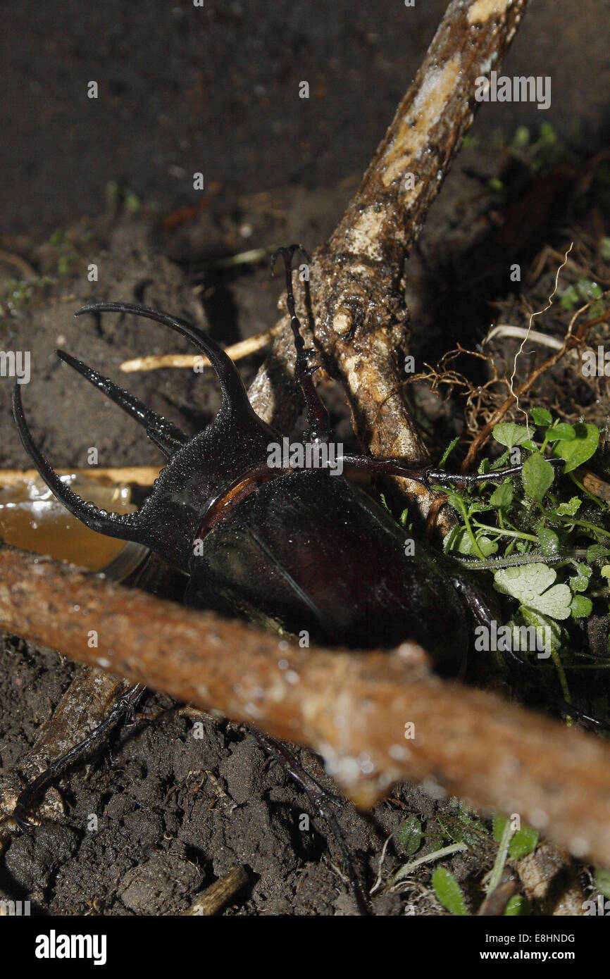 Male Rhino beetle in aquarium Chalcosoma caucasus - Stock Image