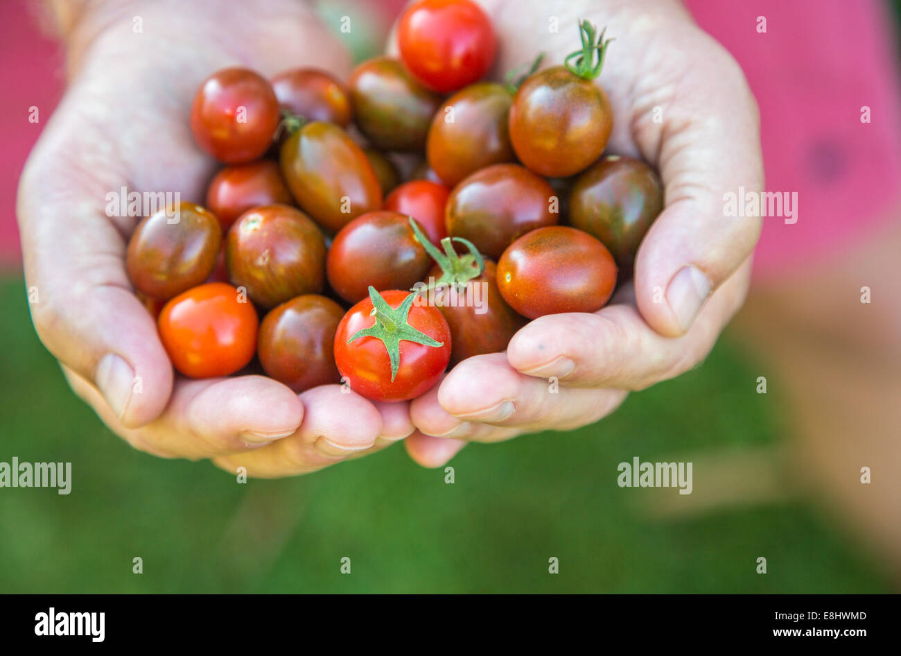 homegrown just picked cherry tomatoes held in the hand Stock Photo