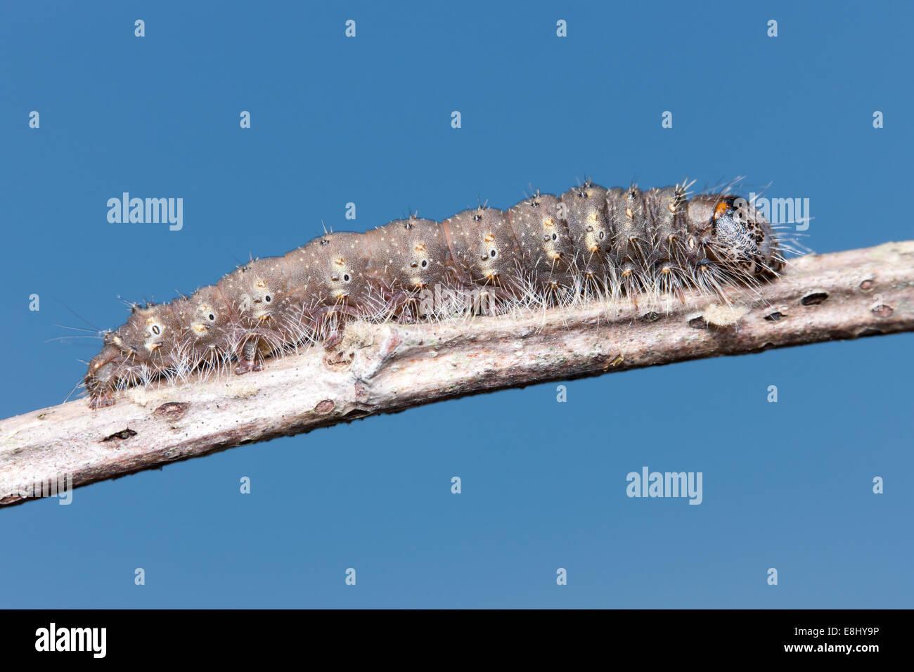 Unmarked Dagger Moth (Acronicta innotata) caterpillar (larva) - Stock Image