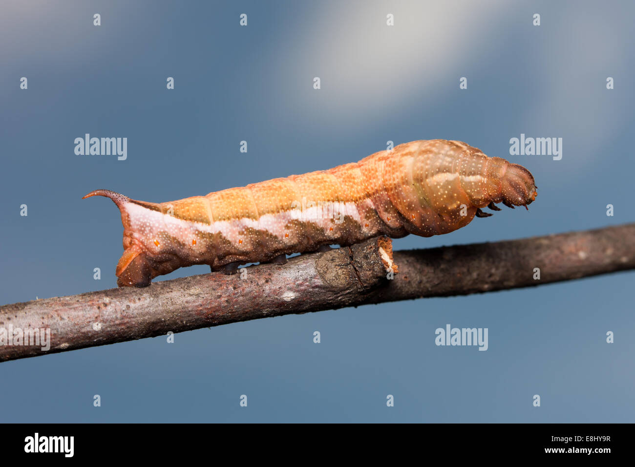 Virginia Creeper Sphinx Moth (Darapsa myron) caterpillar (brown form) - Stock Image