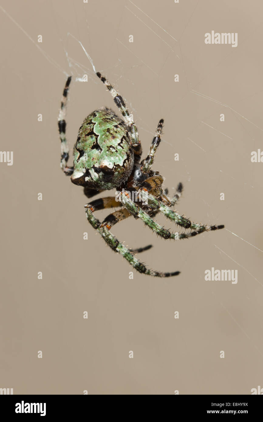 Female Giant Lichen Orbweaver (Araneus bicentenarius) Stock Photo