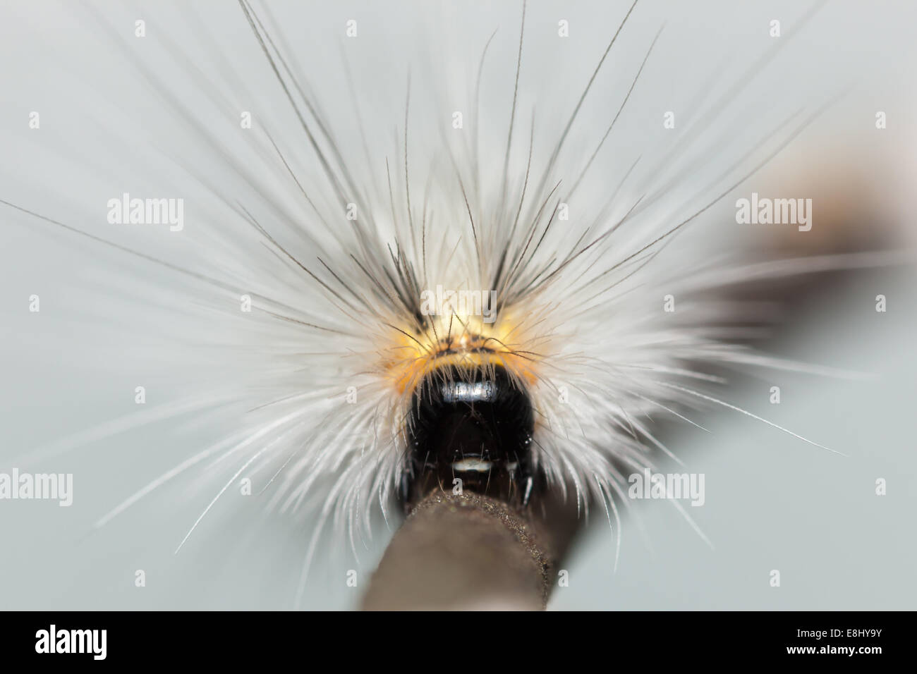 Front view of a Fall Webworm Moth (Hyphantria cunea) caterpillar (larva) - Stock Image