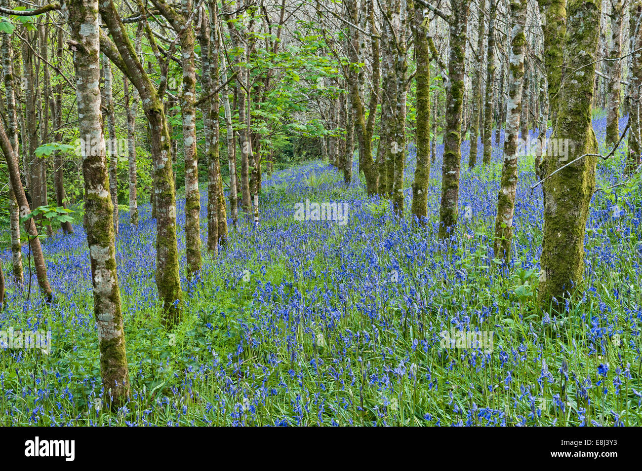 Trevarno, Helston, Cornwall, UK. Woodland (beech and silver birch trees) filled with bluebells in spring - Stock Image