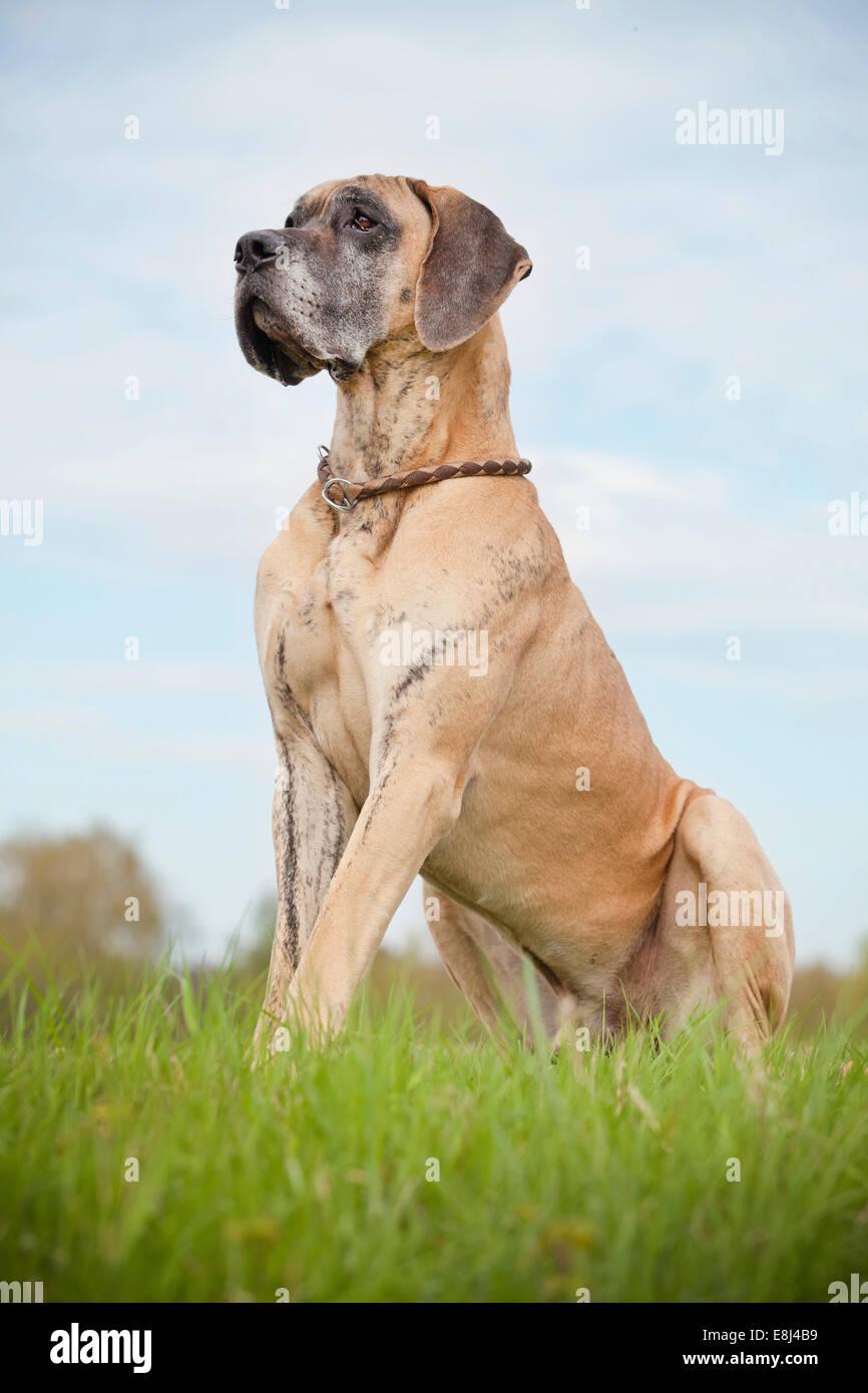 German mastiff, yellow brindle, sitting - Stock Image