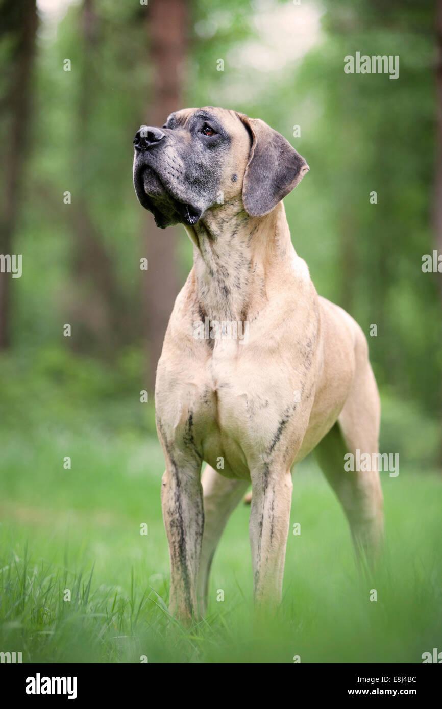 German mastiff, yellow brindle, standing - Stock Image