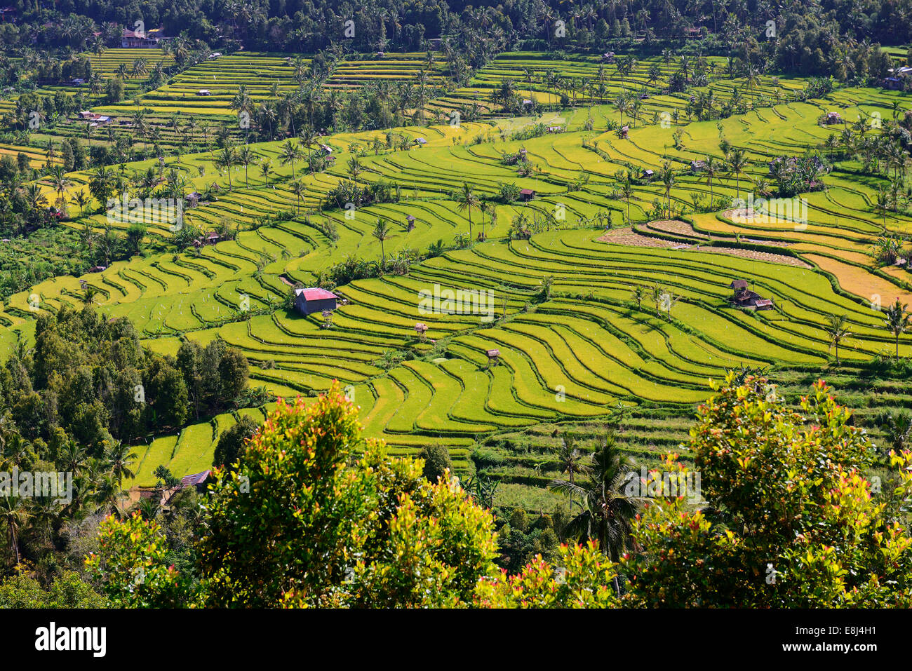 Rice paddies and rice terraces, Munduk, Central Bali, Bali, Indonesia - Stock Image