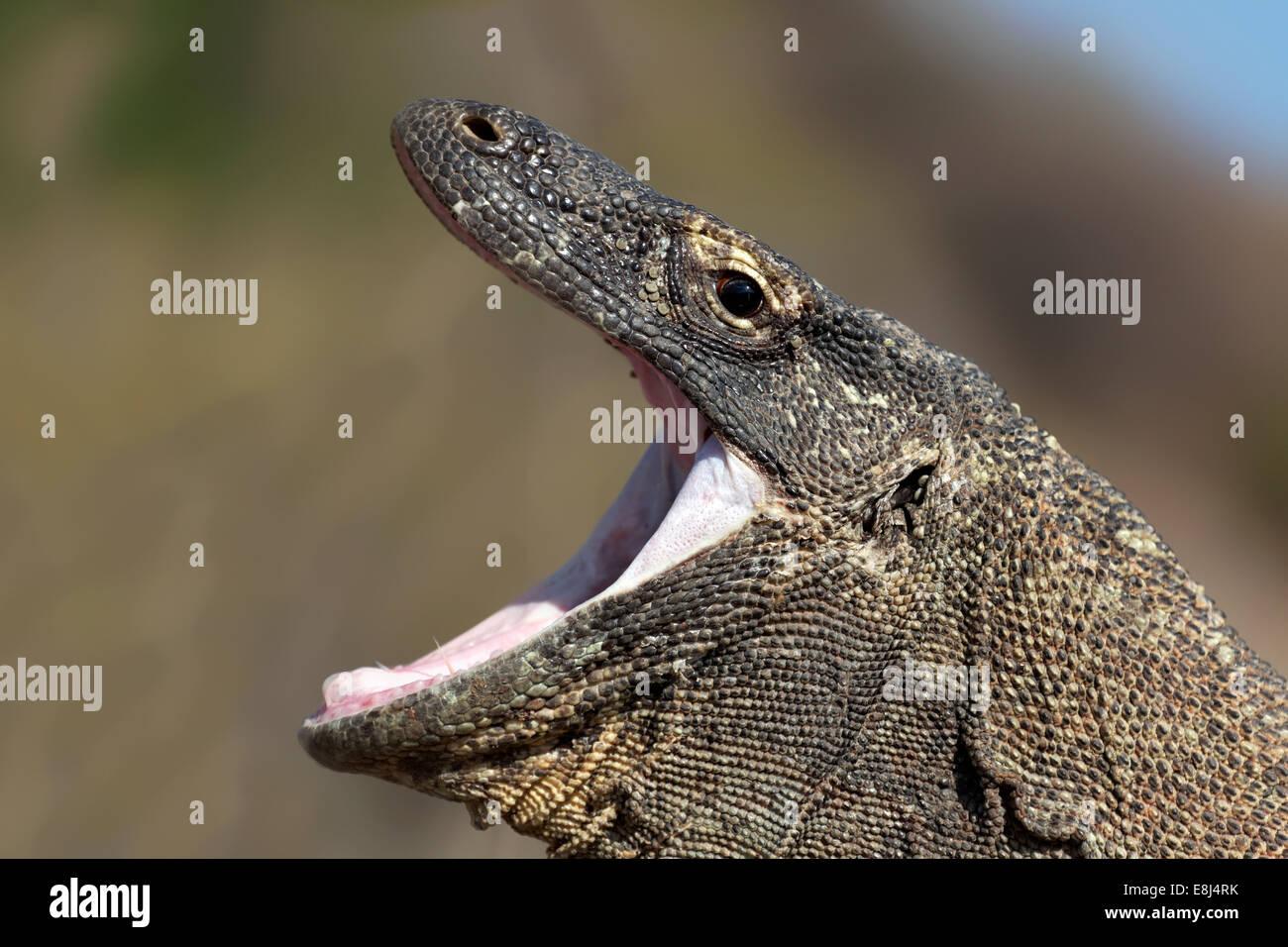 Komodo Dragon (Varanus komodoensis), yawning with mouth wide open, Komodo National Park, Unesco World Heritage Site - Stock Image