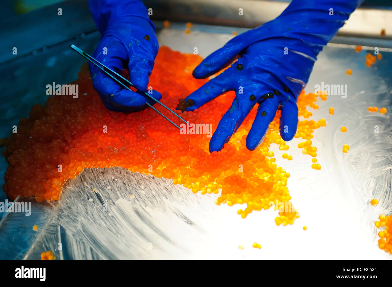 Salmon caviar, Russian specialty, bad salmon eggs are sorted out by hand, Kamchatka Peninsula, Russia - Stock Image