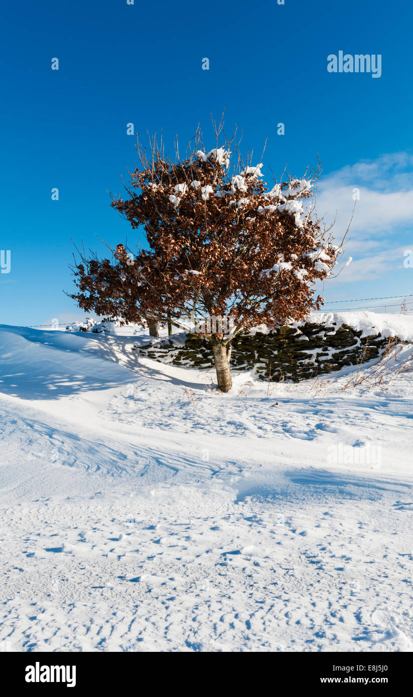 Winter in Radnorshire, Wales, UK - a small solitary beech tree (fagus) survives high up in the hills - Stock Image