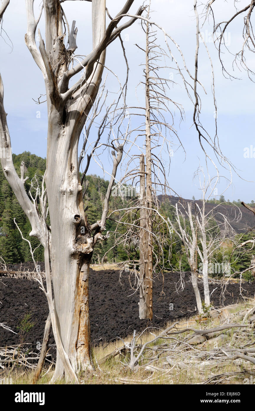 Stark trees destroyed by the volcanic eruptions of Mount Etna in 2002 Sicily Italy - Stock Image
