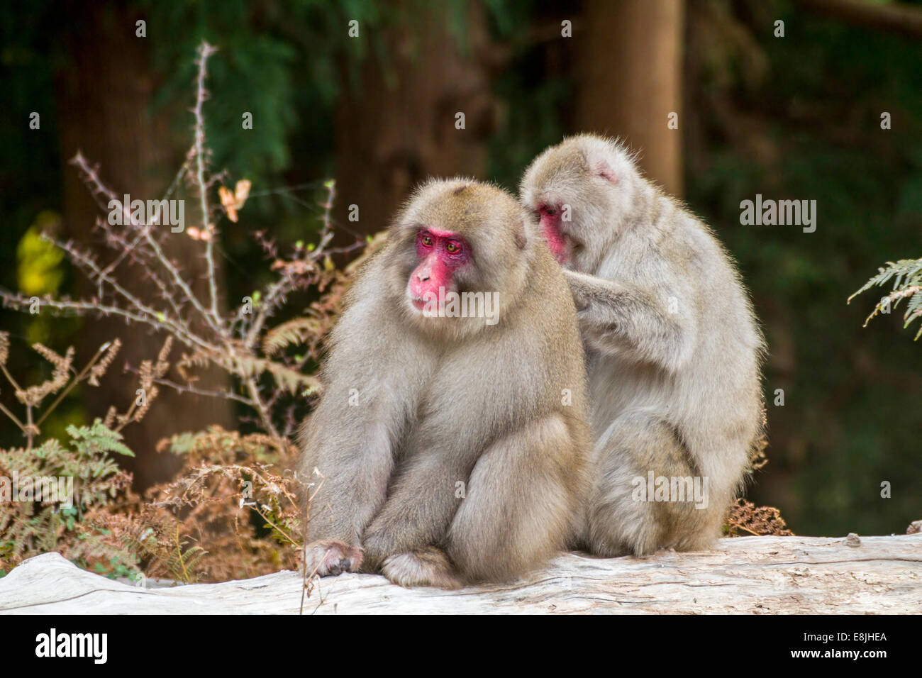 Japanese macaque (Macaca fuscata), or snow monkey. This primate has the northernmost range of any monkey, inhabiting Stock Photo
