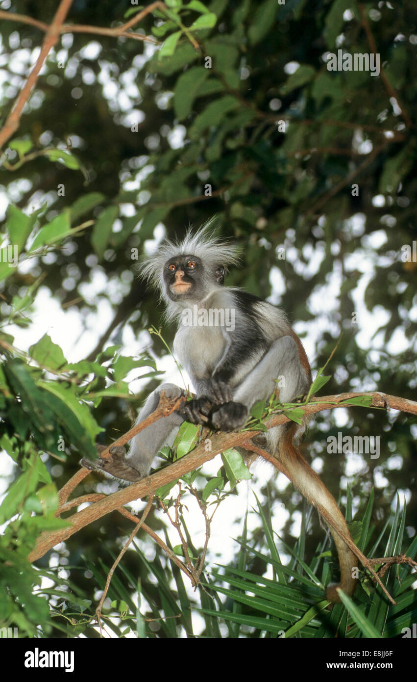 The Zanzibar red colobus (Piliocolobus kirkii), also known as Kirk's red colobus, is endemic to Unguja, the - Stock Image
