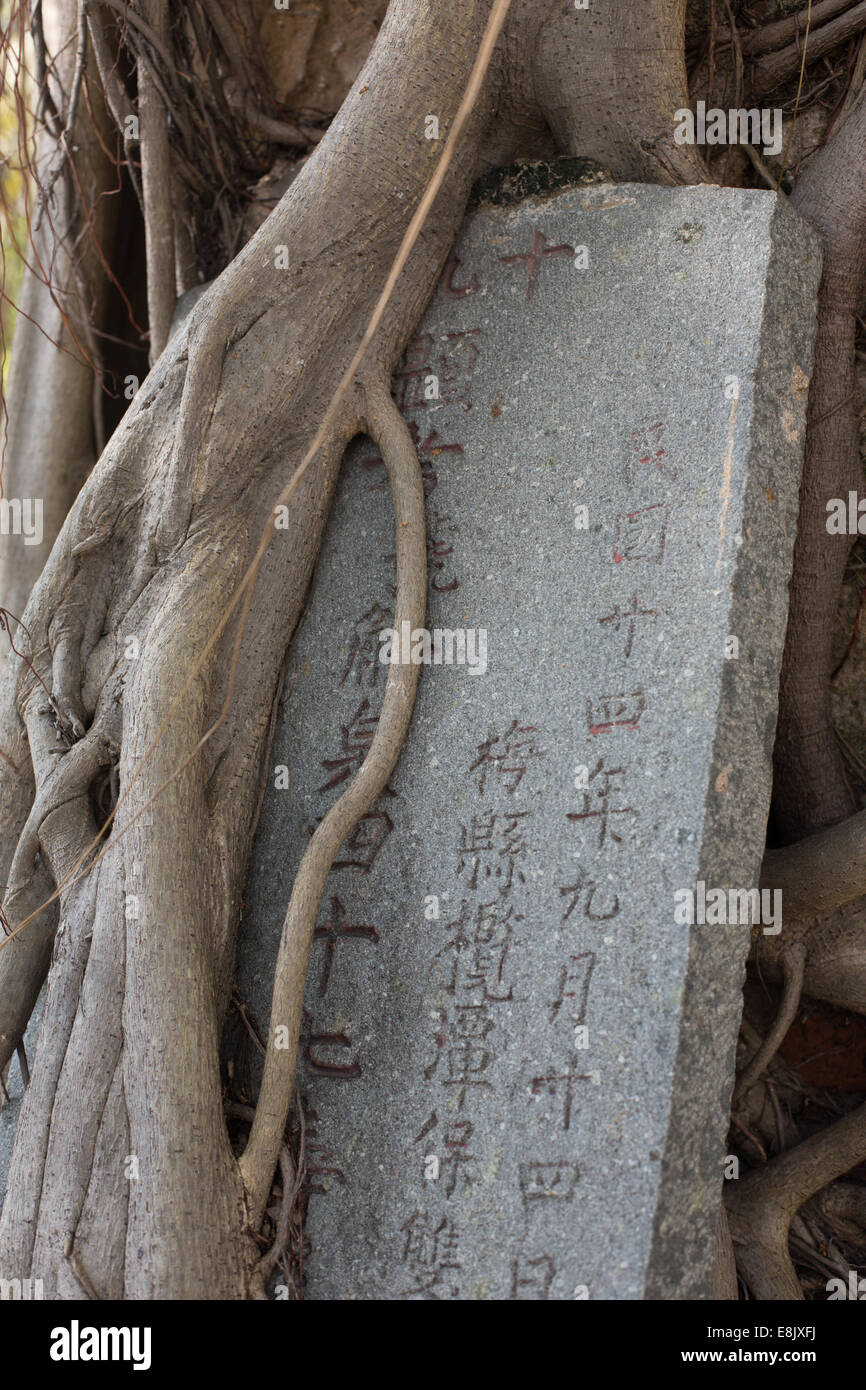 Roots Of A Sacred Bodhi Tree Entwine Misplaced Marker Chinese Cemetery Bangkok Thailand