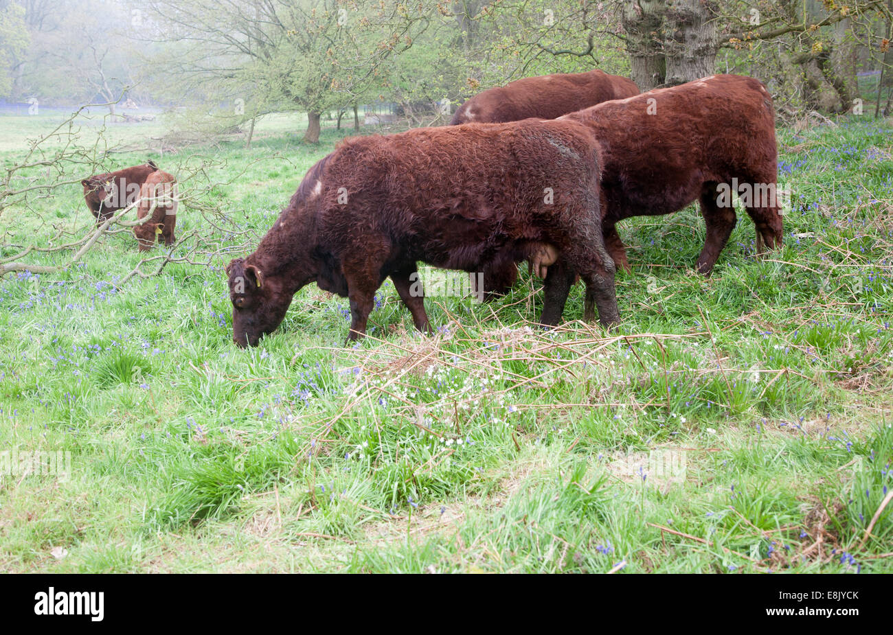 Red poll cattle grazing in a field near Sudbourne, Suffolk, England - Stock Image