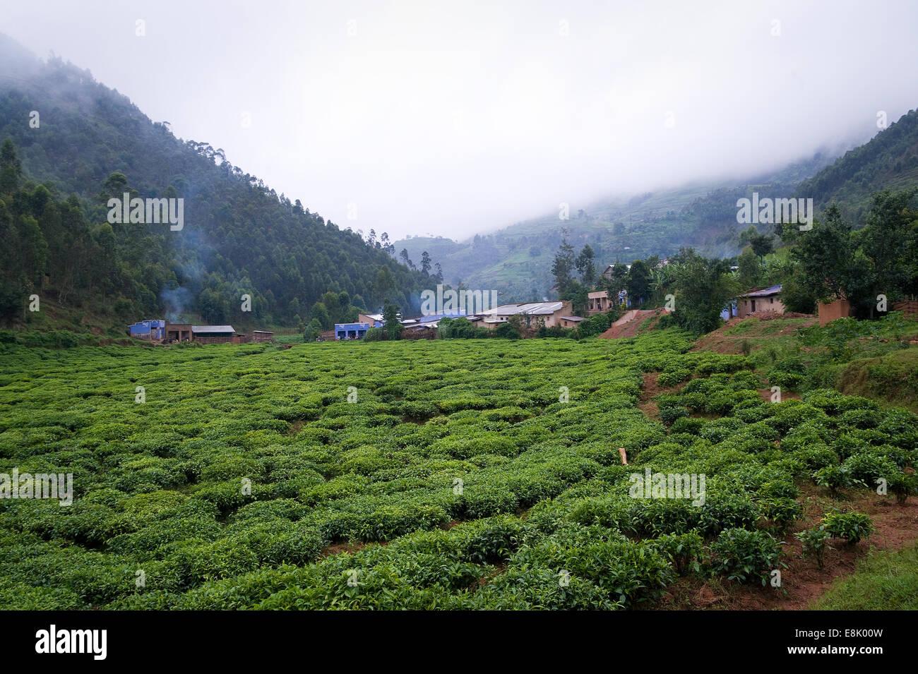 RWANDA, BJUMBA: Around Bjumba are large tea plantations where many people work. Most of the tea production is exported. - Stock Image
