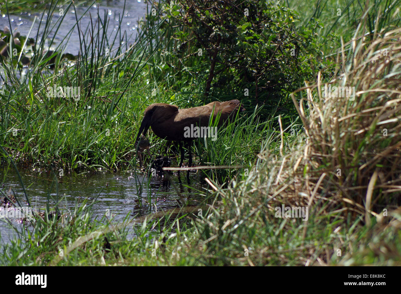 Hammerkop eating a frog - iSimangaliso Wetland Park, South Africa Stock Photo