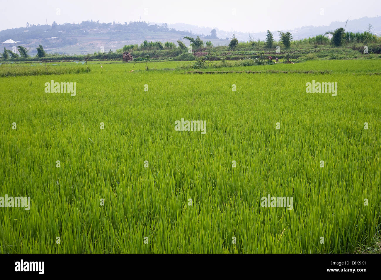 RWANDA, KIGALI: Around Kigali are many rice fields and also corn or vegetables fields. Many people work in agriculture. - Stock Image