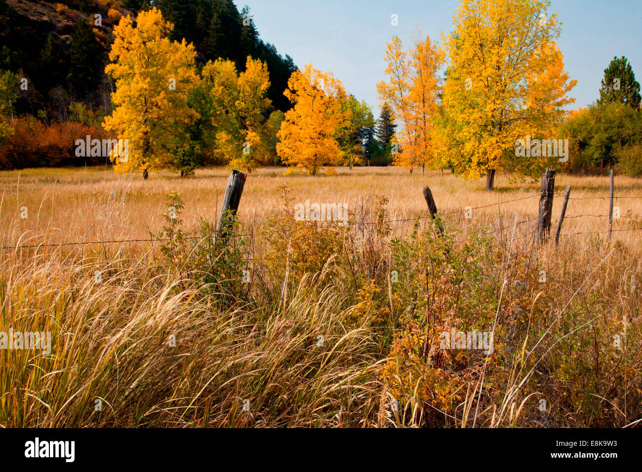 Golden trees in pasture by Snake River, Idaho, USA. - Stock Image