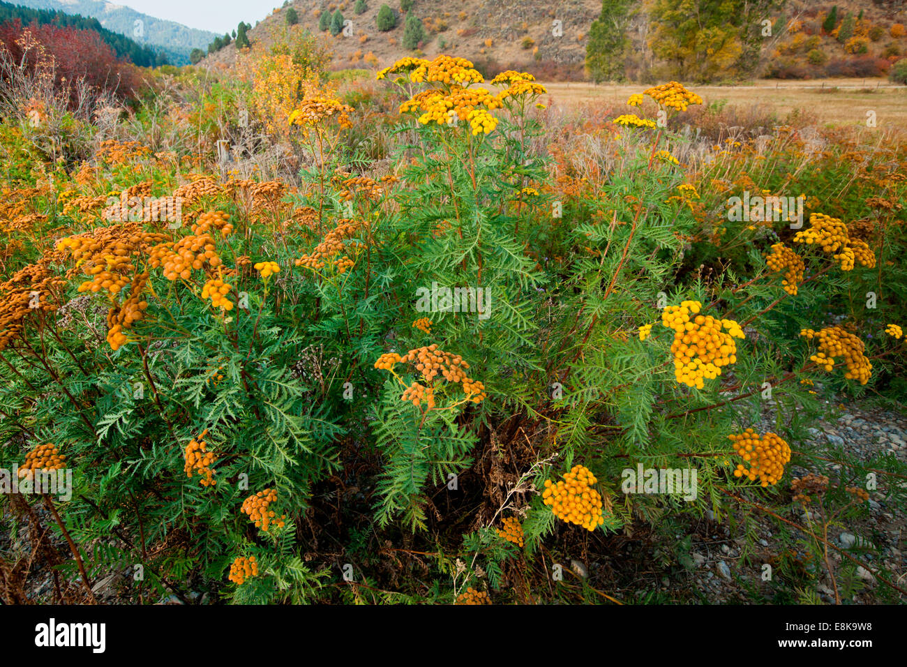 Wildflowers in autumn, Idaho, USA. - Stock Image