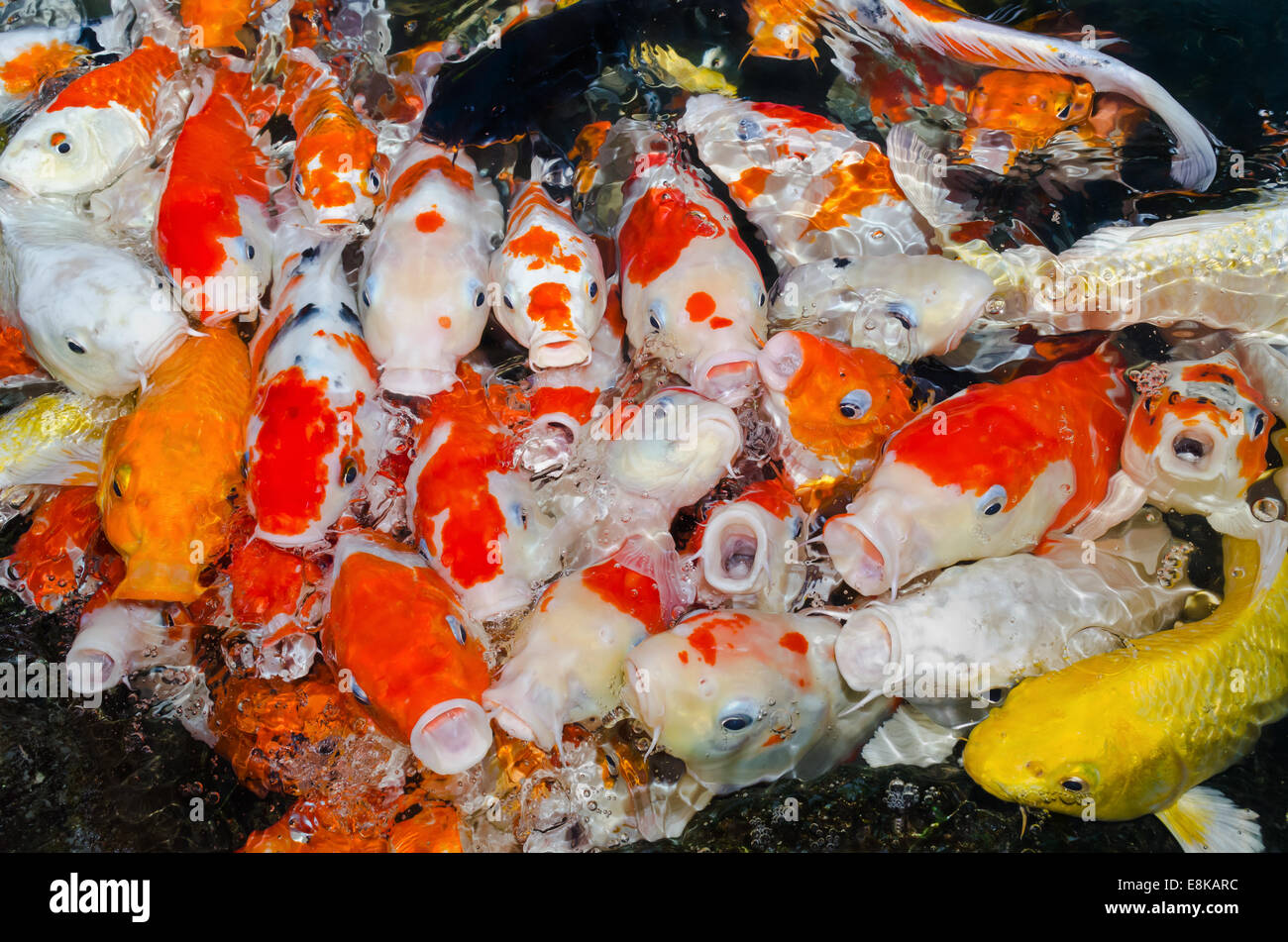 Colorful Koi Carp Fish Group Stock Photos & Colorful Koi Carp Fish ...