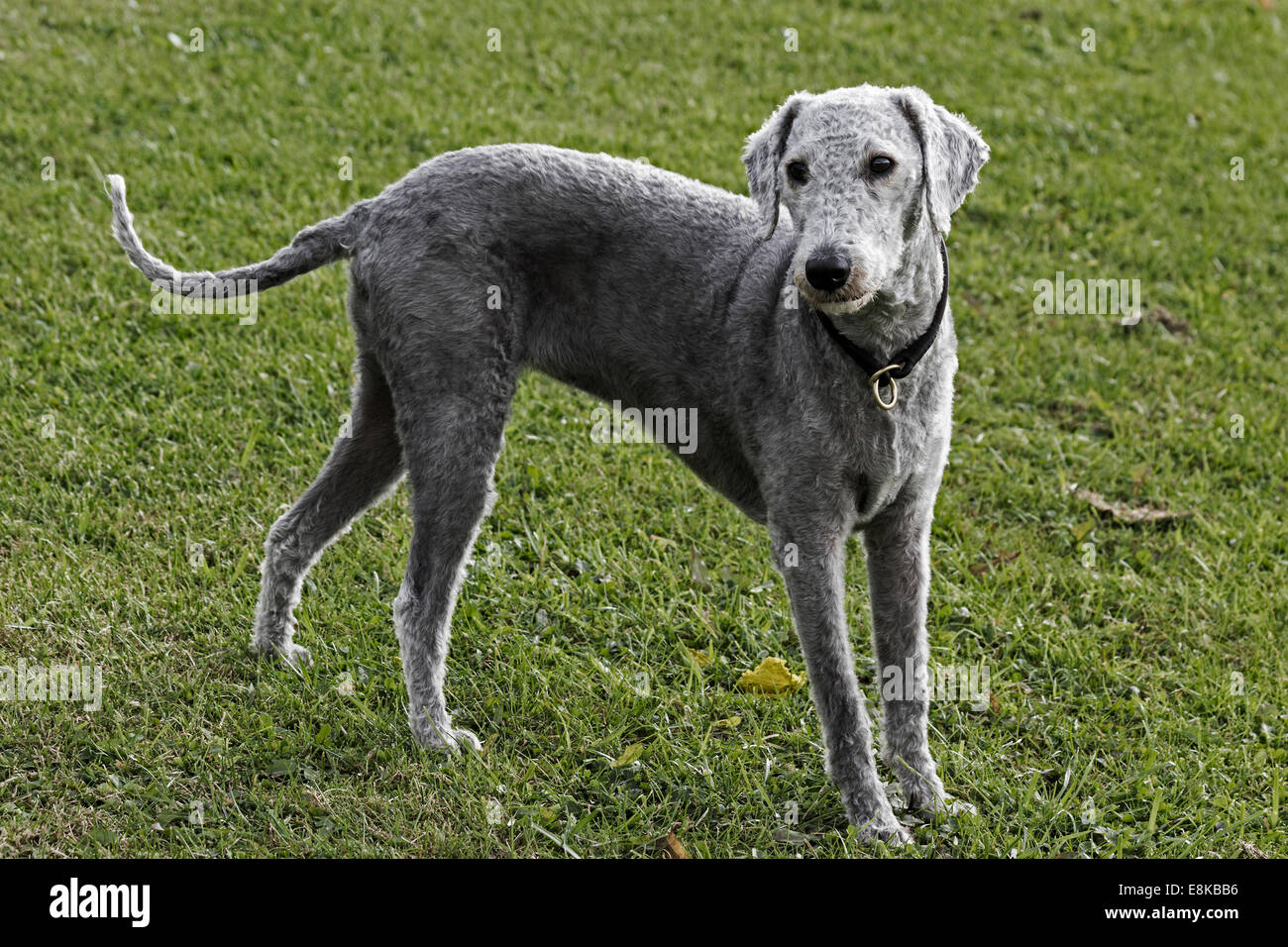 Bedlington terrier, recently clipped, standing in a field - Stock Image