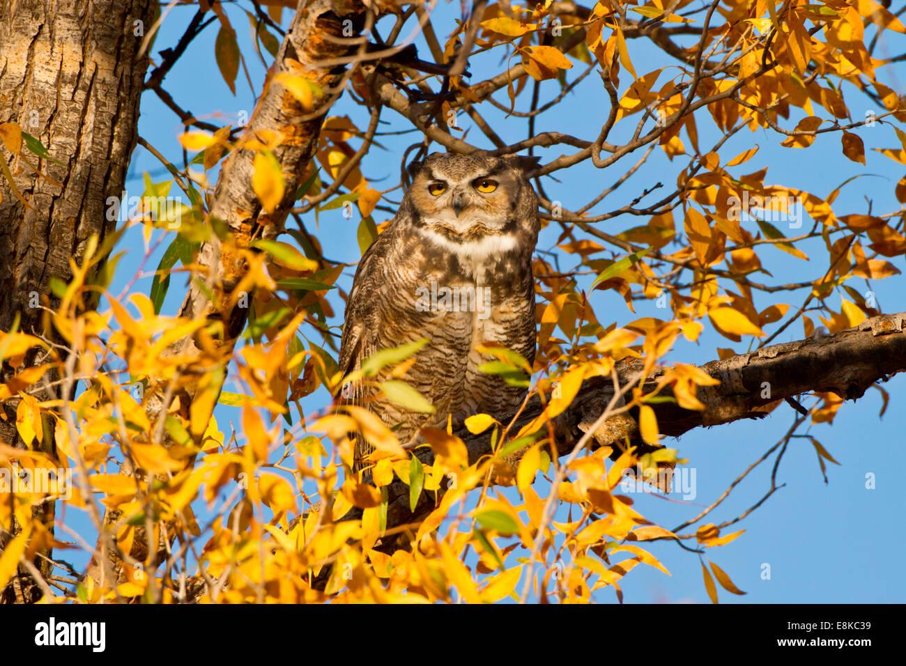 Great Horned Owl (Bubo virginianus) sleeping in cottonwood. Stock Photo