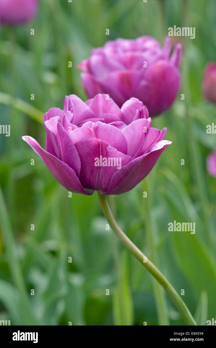 DOUBLE LATE TULIP - TULIPA 'BLUE SPECTACLE' - Stock Image