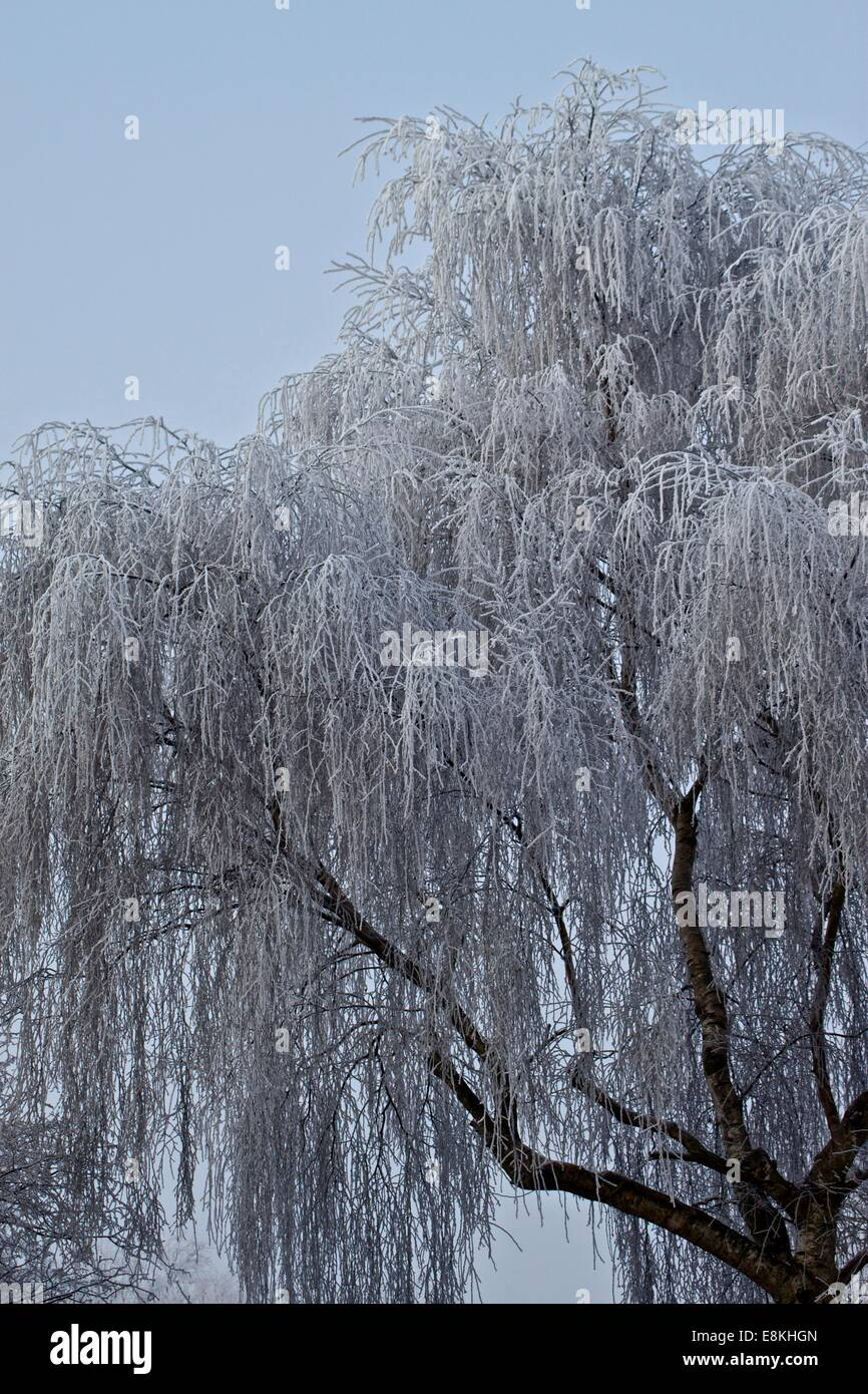 Frosty willow tree - Stock Image