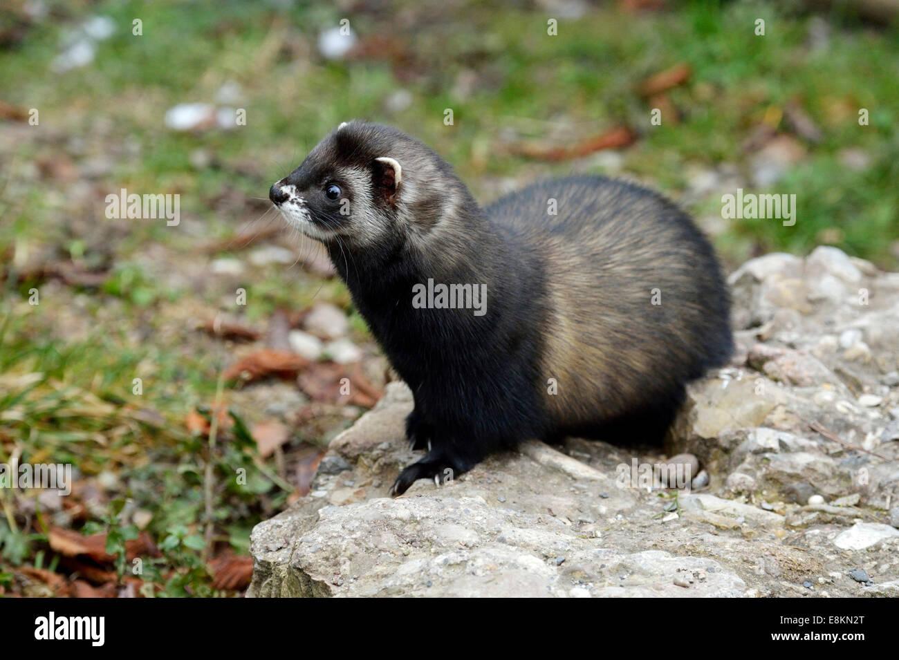 European polecat (Mustela putorius), Natur- und Tierpark Goldau zoo, Schwyz, Switzerland - Stock Image