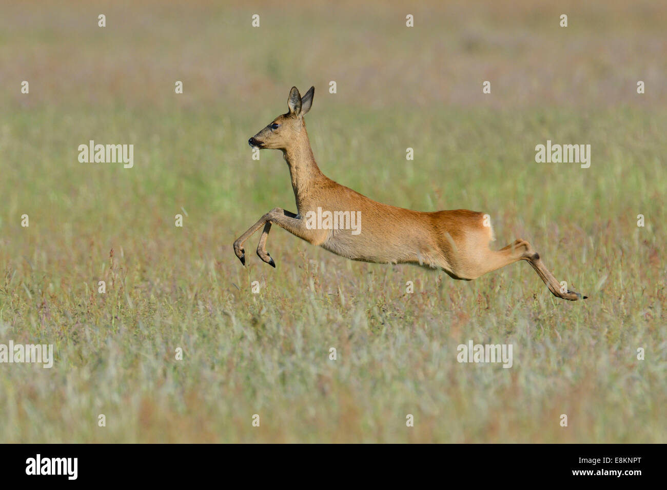 Roe Deer (Capreolus capreolus) leaping across a meadow, North Rhine-Westphalia, Germany - Stock Image