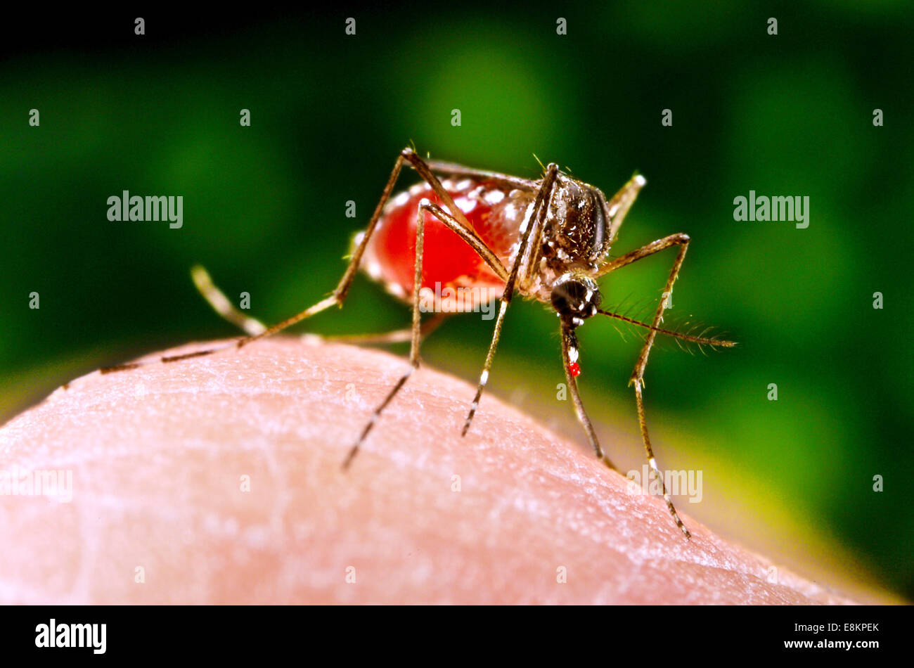 This image depicted female Aedes aegypti mosquito as she was completing activity of obtaining blood-meal from human - Stock Image