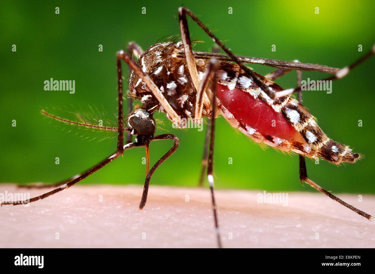 This photograph depicted female Aedes aegypti mosquito while she was in process of acquiring blood meal from her - Stock Image