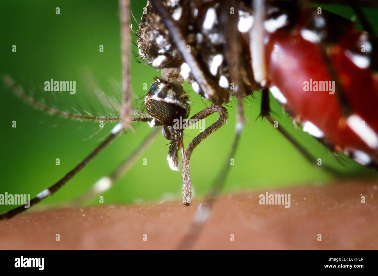 The proboscis of an Aedes albopictus mosquito feeding on human blood Under experimental conditions Aedes albopictus - Stock Image