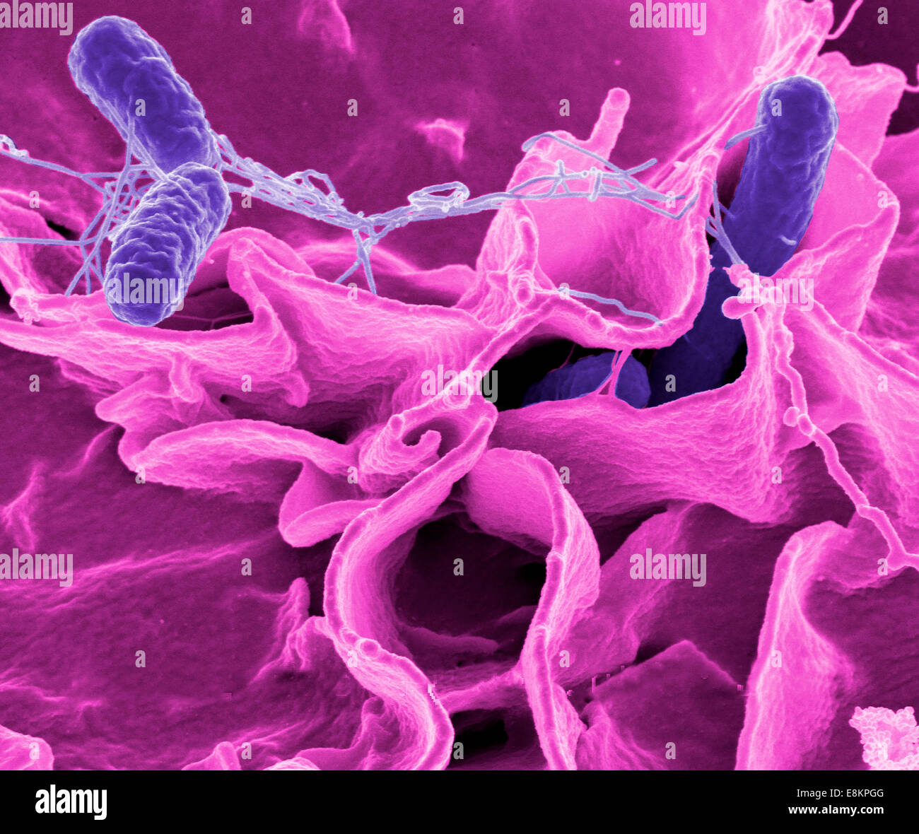 Salmonella bacteria, a common cause of food poisoning, invade an immune cell. - Stock Image