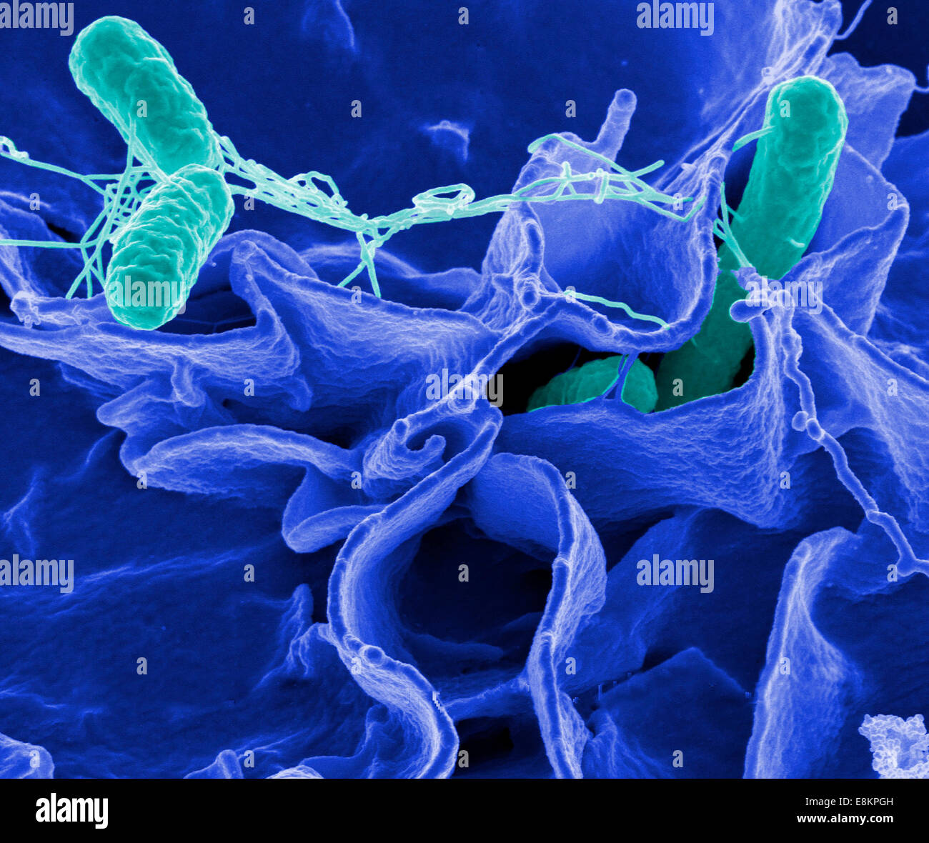 Salmonella bacteria, a common cause of food poisoning, invade an