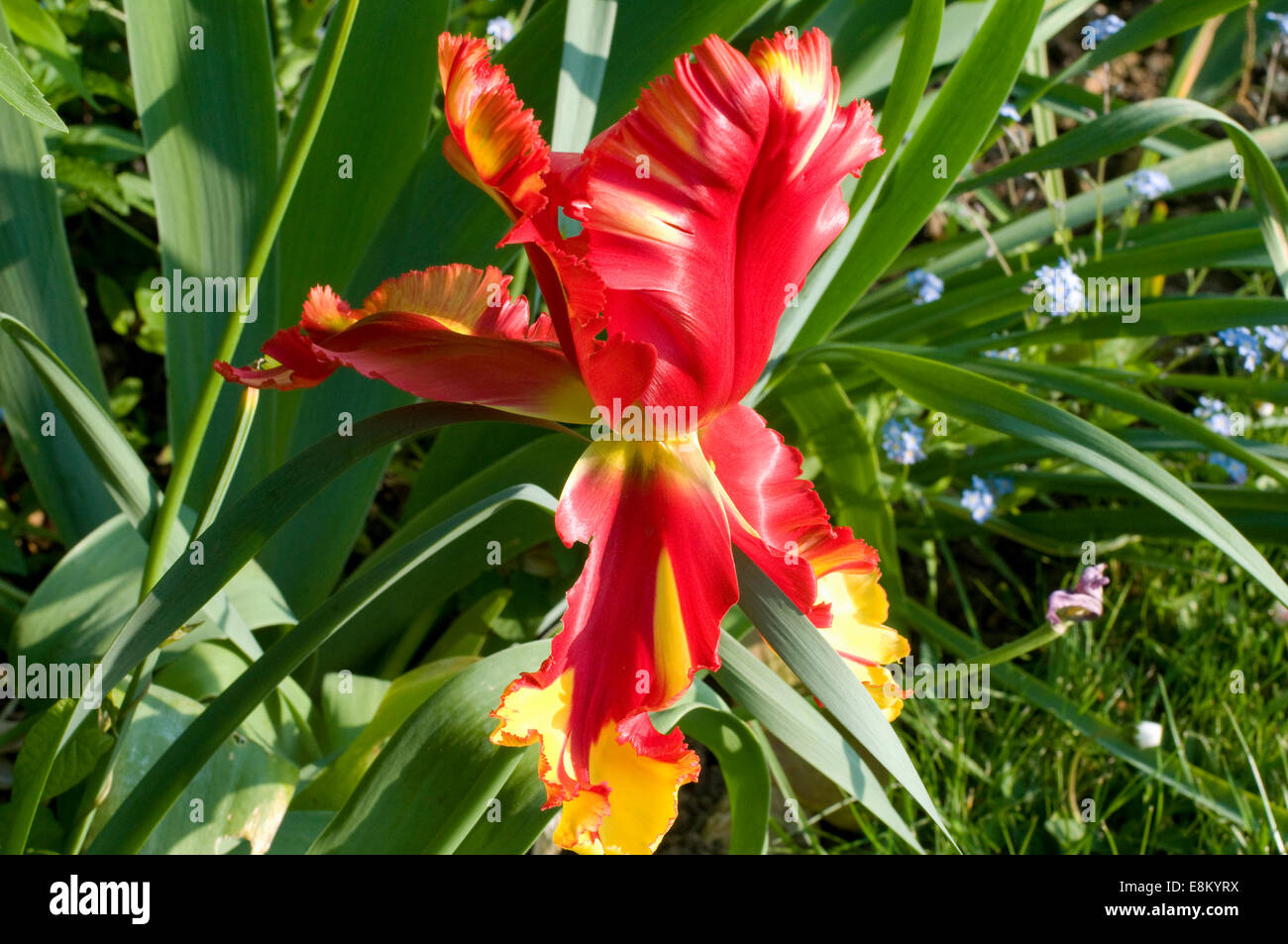 Ornamental yellow red Tulip flower. Variegated colors produced by ...